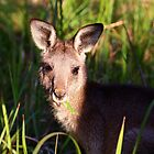 munching wallaby by geophotographic