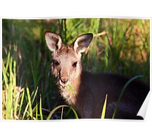 munching wallaby Poster
