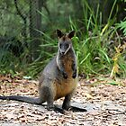 wallaby by geophotographic