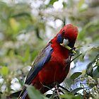 crimson rosella I by geophotographic
