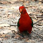 king parrot I by geophotographic