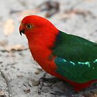 king parrot II by geophotographic
