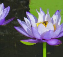 Mauve Waterlillies With Bee Sticker