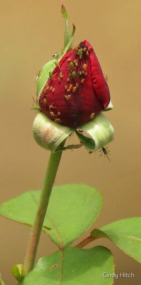 A Rose Bug by Cindy Hitch
