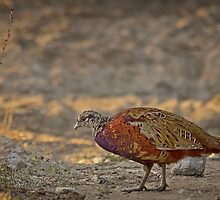 Male pheasant on Rotto by Jennie  Stock