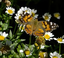 Meadow Argus on Chalet Daisies by Gabrielle  Lees