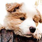 sweet Border Collie Puppy  by dedakota