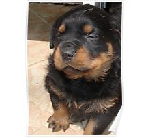 Cute Fluffy Female Rottweiler Pup Falling Asleep Poster