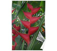 Heliconia (Claw Plant) Poster