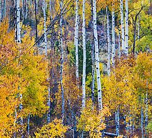 Aspen Tree Magic Cottonwood Pass by Bo Insogna