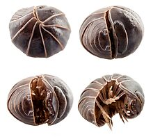 Pill-bug armadillidium vulgare species opening,  isolated on white background by paulrommer