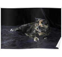 Milly - Tortie Tabby Exotic Shorthair Cat Poster