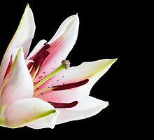 Pink and white lily flower by sc-images