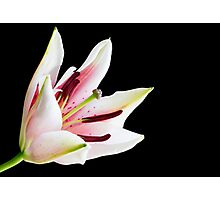 Pink and white lily flower Photographic Print