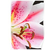 Close up pink and white lily Poster