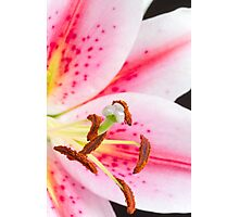 Close up pink and white lily Photographic Print