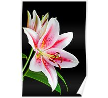 Beautiful pink and white lily flower Poster