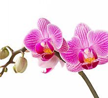 Phalaenopsis; moth orchid flowers by sc-images