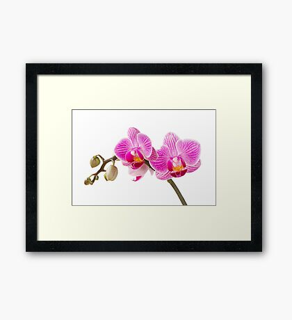 Phalaenopsis; moth orchid flowers Framed Print