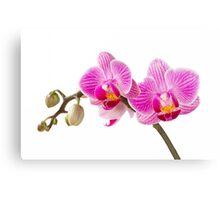 Phalaenopsis; moth orchid flowers Canvas Print