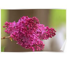 Lilac Stem Poster