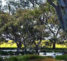 Oz Countryside...canola framing eucalypts. by Lozzar Landscape