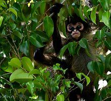 Baby Spider Monkey by insight