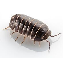 Pill-bug armadillidium vulgare species isolated on white background by Pablo Romero