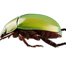 Green beetle species Anomala dimidiata isolated on white background by paulrommer