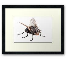Blue bottle fly species calliphora vomitoria isolated on white background Framed Print