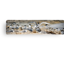 Crested tern colony Canvas Print