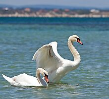 Mute swans off Penguin island by Jennie  Stock