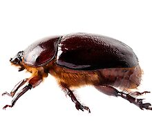 "European rhinoceros beetle female ""Oryctes nasicornis"" species by paulrommer"