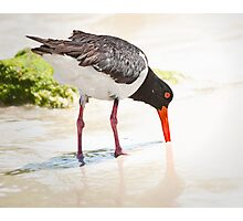 Pied oystercatcher feeding Photographic Print