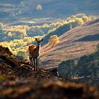 Red deer calf by Macrae images