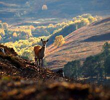 Red deer calf by Macrae images