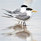 Crested tern pair by Jennie  Stock