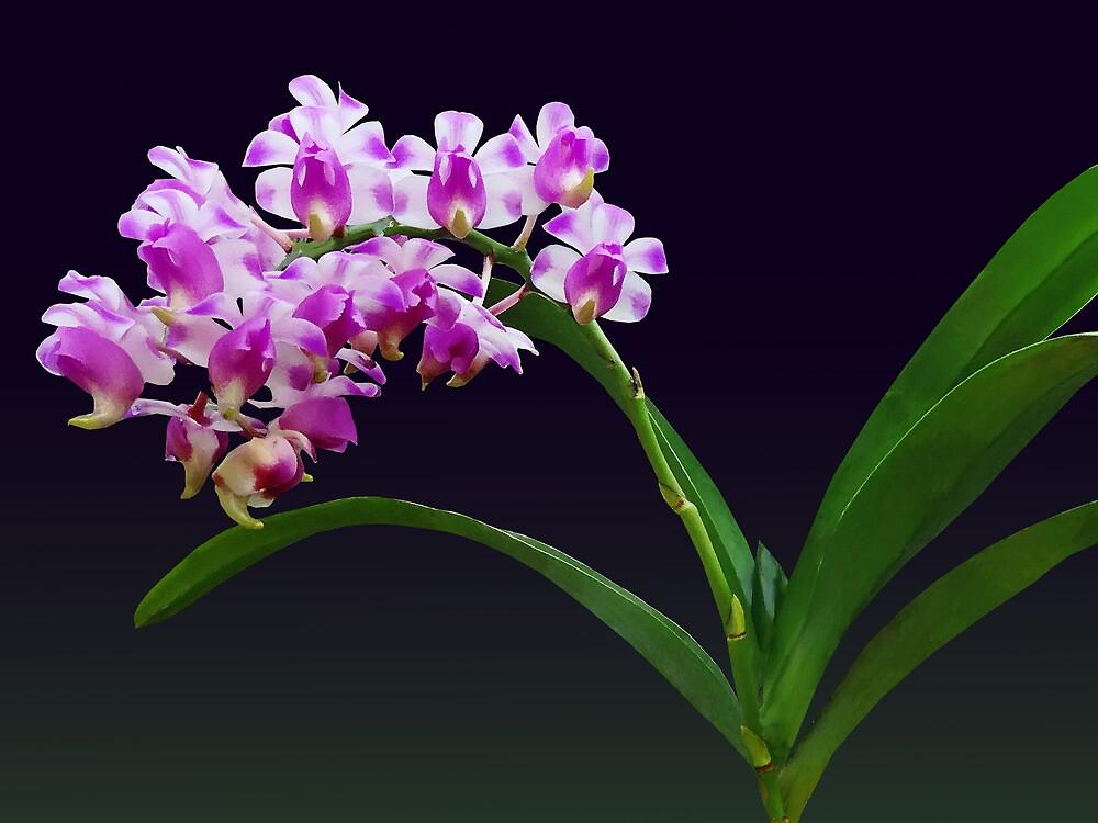 Aerides Lawrenciae X Odorata Orchid by Susan Savad