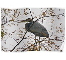 Blue Heron in a Tree - West Chester Ohio Poster