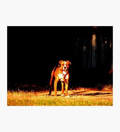 Pit Bull Photographic Print