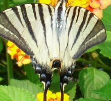 Scarce Swallowtail Feeding on Lantana Sticker