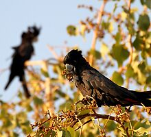 Black Cockatoo by Mark Ingram
