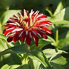 Zinnia in Morning Light by Linda  Makiej