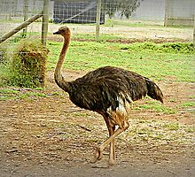 *Emu - Open Range Zoo - Werribee, Vic. by EdsMum