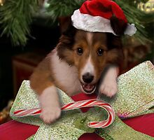 Christmas Sheltie by jkartlife