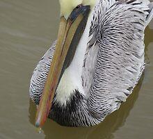 pelican's portrait - retrato de pelicano by Bernhard Matejka
