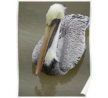 pelican's portrait - retrato de pelicano Poster