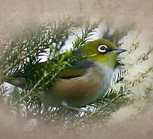 Silvereye in a Honey Myrtle Shrub by Melanie Weerasiri