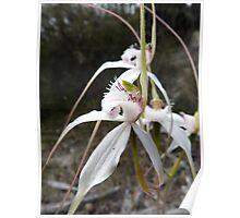 Caladenia longicauda subsp. eminens - Stark White Spider Orchid, Cranbrook, WA Poster
