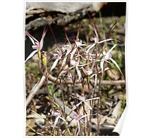 Caladenia vulgata - Common Spider Orchid, Frankland River, WA Poster